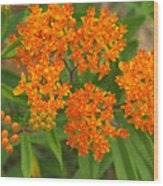 Orange Butterfly Weed From Above Wood Print