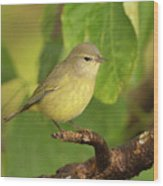Orange Crowned Warbler Wood Print