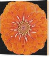 Orange Crush Zinia Wood Print