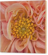 Orange Dahlia Wood Print