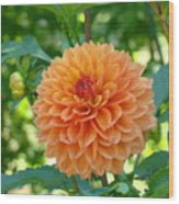 Orange Dahlia Master Gardeners Art Collection Baslee Troutman Wood Print