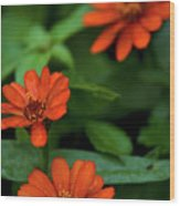 Orange Daisey's Wood Print