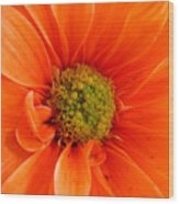 Orange Daisy - A Center View Wood Print