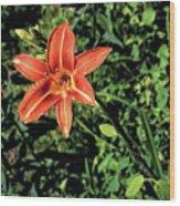 Orange Day Lily 1 Wood Print