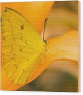 Orange Emigrant Butterfly Wood Print