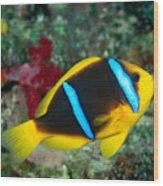Orange-fin Anemonefish Wood Print