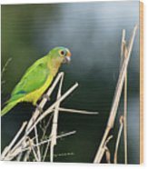 Orange-fronted Parakeet Wood Print