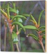 Orange Kangaroo Paw Wood Print