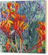 Yellow-orange Kangaroo Paws At Pilgrim Place In Claremont-california- Wood Print