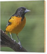 Orange Oriole Wood Print