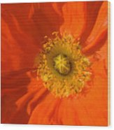 Orange Poppy Flower Wood Print