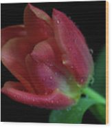 Orange Ruby Tulip Wood Print by Tracy Hall