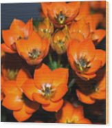 Orange Starflower Wood Print