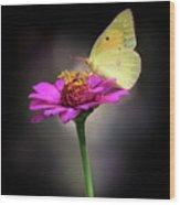 Orange Sulphur Butterfly Portrait Wood Print