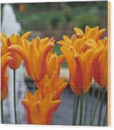 Orange Tulips In A Colonial Garden Wood Print