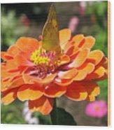 Orange Zennia Wood Print