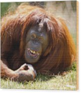 Orangutan In The Grass Wood Print by Garry Gay