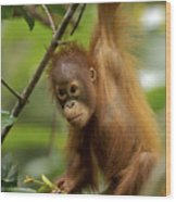 Orangutan Pongo Pygmaeus Baby Swinging Wood Print