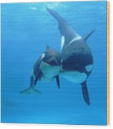 Orca Orcinus Orca Mother And Newborn Wood Print by Hiroya Minakuchi