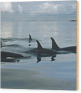 Orca Pod Johnstone Strait Canada Wood Print