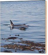Orca Whales In The San Juan Islands Wood Print