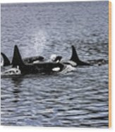 Orcas, The Killer Whales Wood Print
