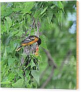 Orchard Oriole Feeding The Kids Wood Print