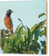 Orchard Oriole Songbird Perched On A Bush Wood Print