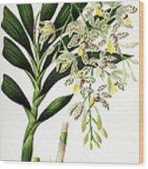 Orchid, Ansellia Africana, 1880 Wood Print