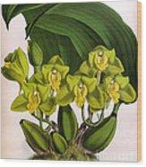 Orchid, Bifrenaria Aurantiaca, 1891 Wood Print