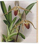 Orchid, Cypripedium Elliottianum, 1891 Wood Print