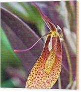 Orchid Flower - Restrepia Radulifera Wood Print