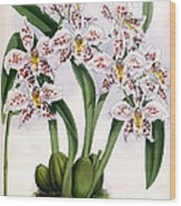 Orchid, O. Alexandrae Plumatum, 1891 Wood Print