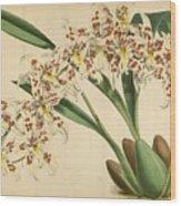Orchid Odontoglossum Andersonianum Grenada  Wood Print