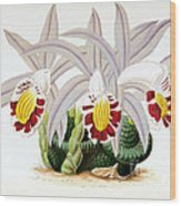 Orchid, Pleione Lagenaria, 1880 Wood Print