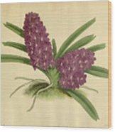 Orchid Saccolabium Ampullaceum  Wood Print