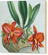 Orchid, Sophronitis Grandiflora, 1880 Wood Print
