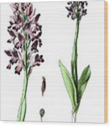 Orchis Militaris, The Military Orchid Wood Print
