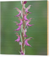 Orchis Sancta Wood Print