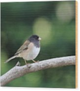 Oregon Junco Wood Print