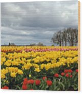 Oregon Tulip Fields 2 Photograph Wood Print