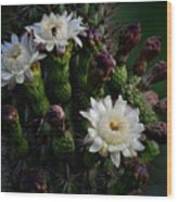 Organ Pipe Cactus Flowers  Wood Print