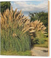 Ornamental White Pampas Grass-1 Wood Print