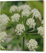 Osha Flowers 1 Wood Print