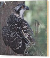 Osprey 39 Wood Print