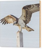 Osprey 8140 Wood Print
