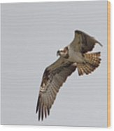 Osprey Aloft Wood Print