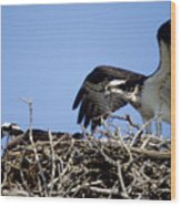 Osprey At Nest-2 Wood Print