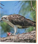 Osprey Breakfast Break Wood Print