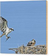 Osprey Brings Fish To Nest Wood Print